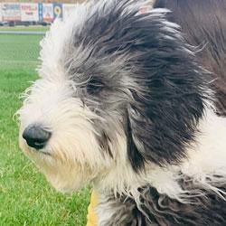 Sheepadoodle Testimonys | Angel Breeze Puppies in Ohio